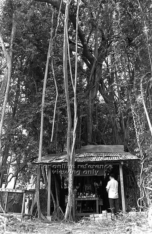 A photo from the 1970s of the sacred tree and its temple at Toa Payoh Central. Photo: National Archives of Singapore