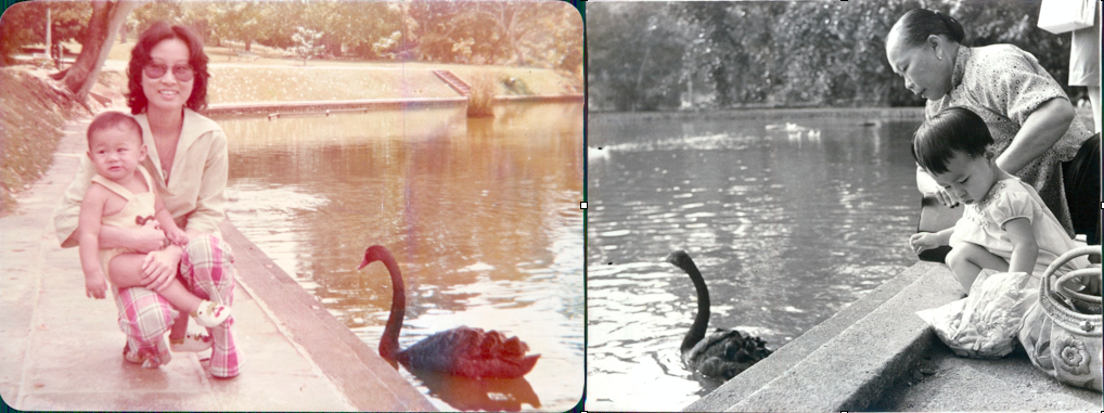 Black swans at Singapore Botanic Gardens. Photo Credit: Anne Phua Geok Neo (left) Pearl Pang (right)
